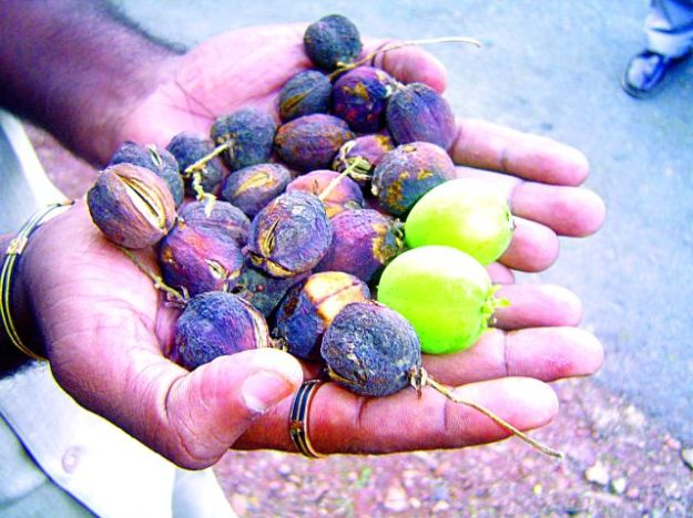 jatropha fruit - India