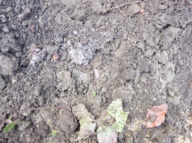 Mycorrhiza 1P1000825